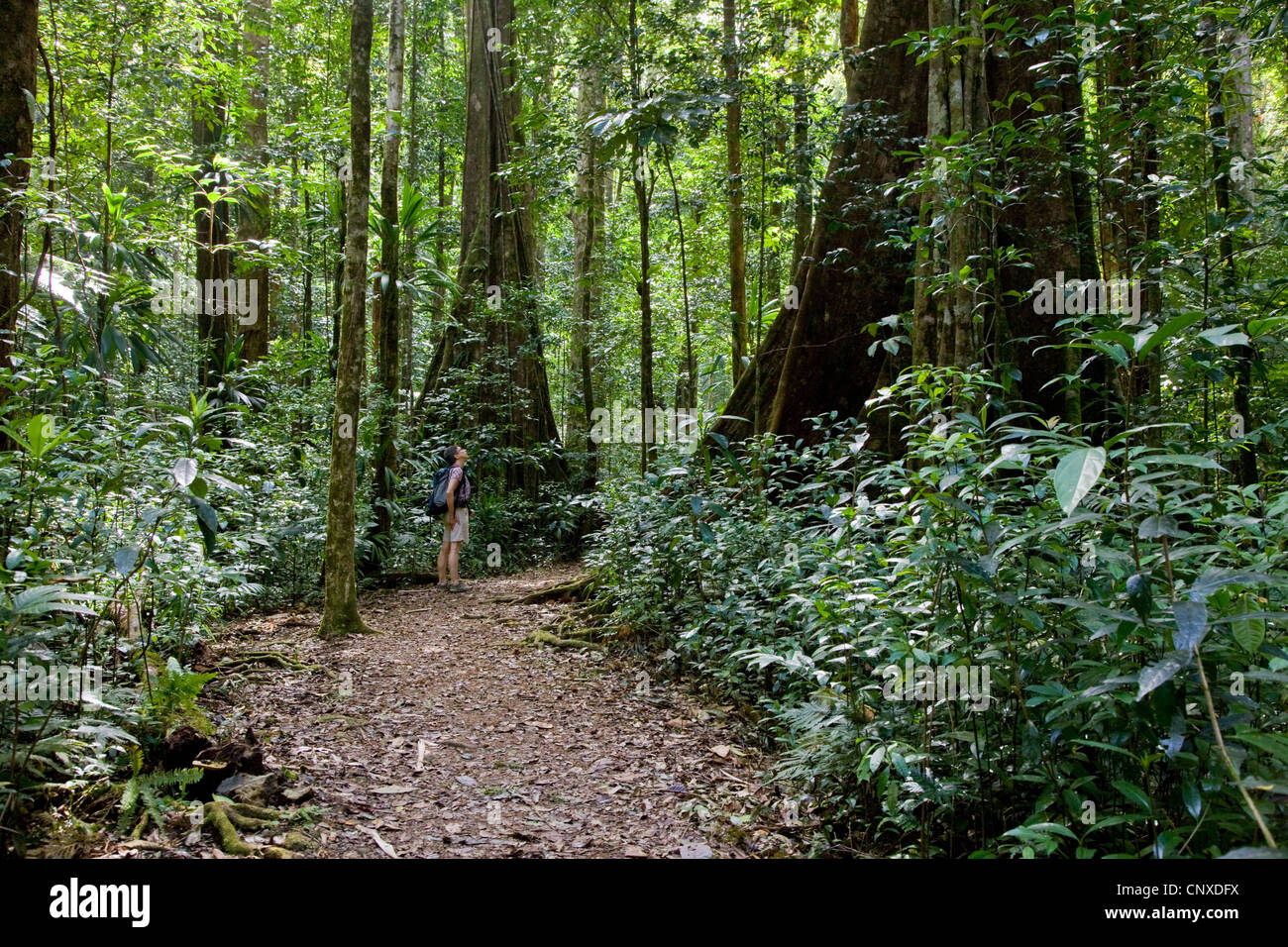 A female walker looks up at the huge trees along the Syndicate Nature trail  in primary rain forest of Dominica - Stock Image