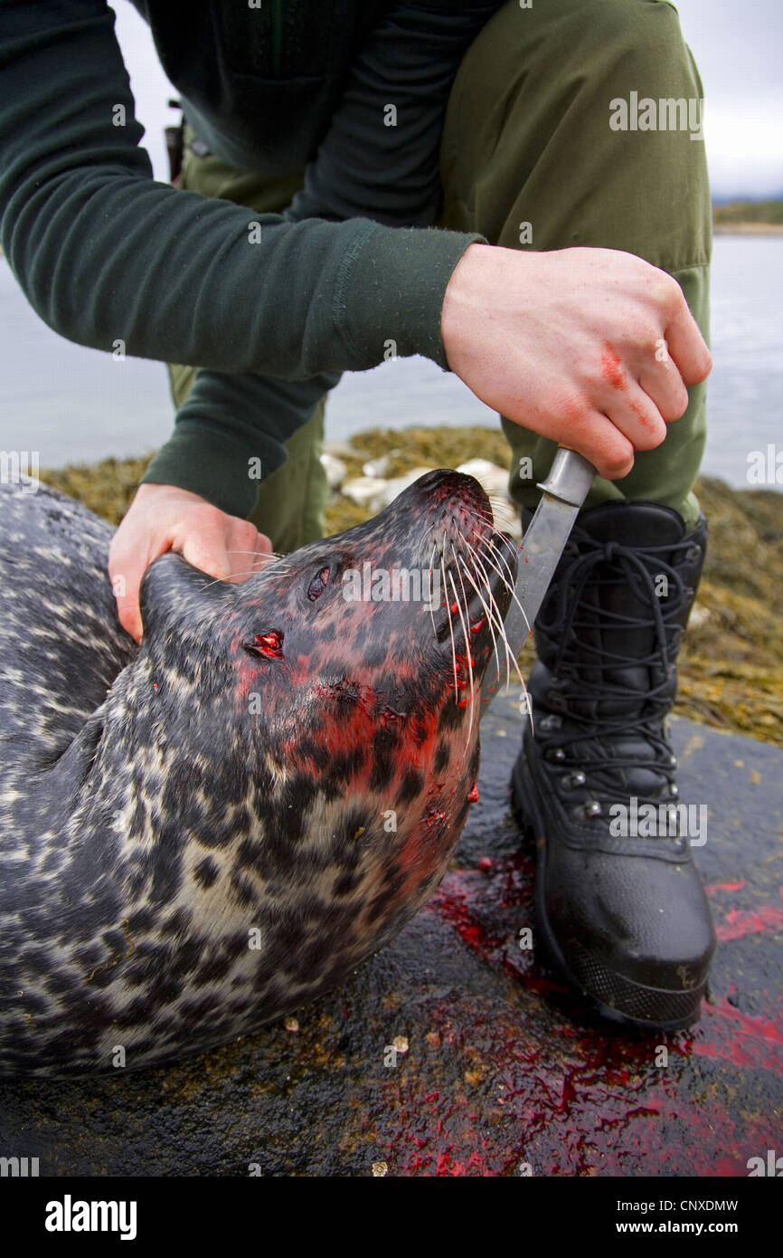 harbor seal, common seal (Phoca vitulina), hunter with recently shot common seal, Norway, Nord-Trndelag - Stock Image