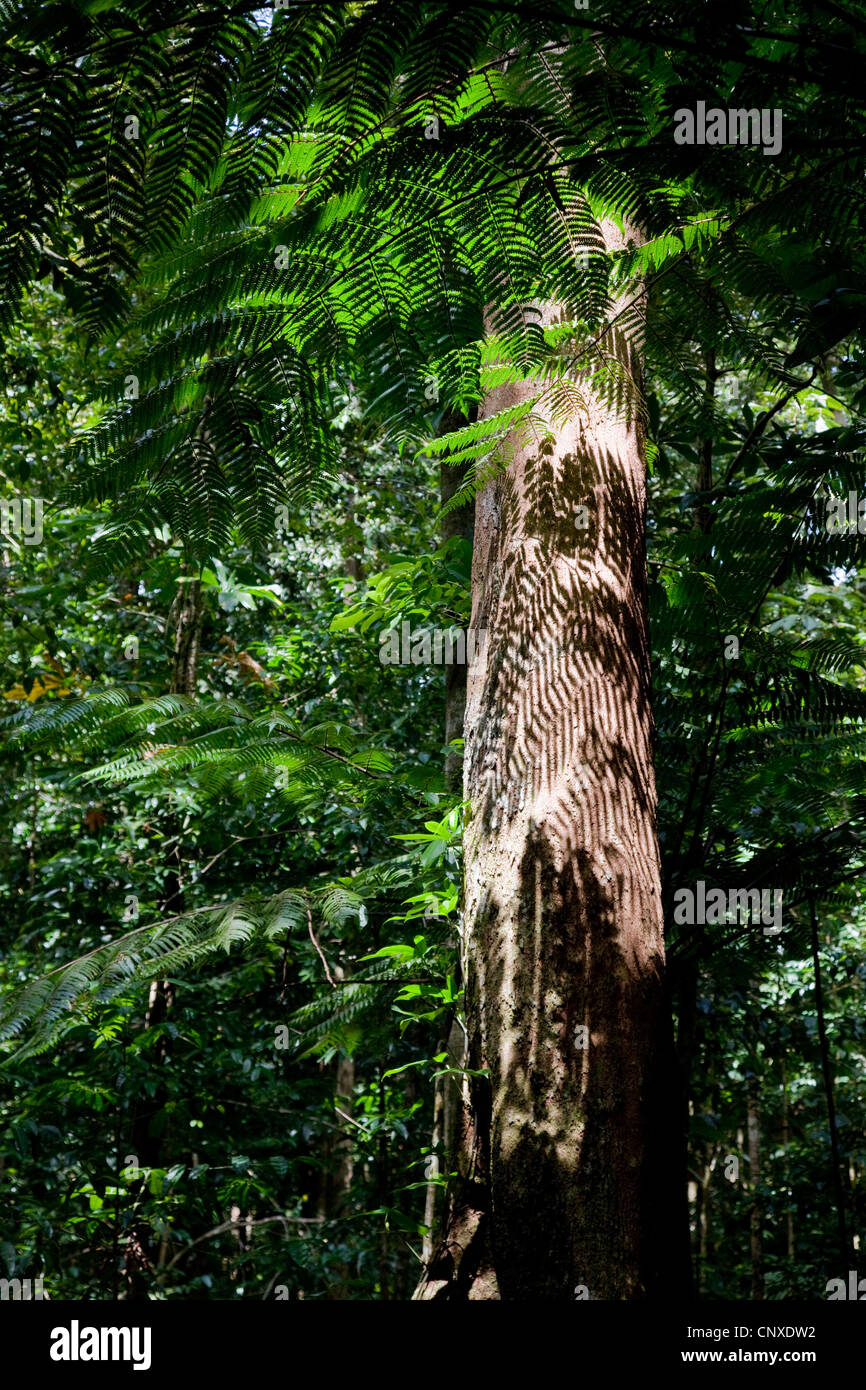 Shadow patterns of leaves on the trunk of a primary rain forest tree on the Syndicate Trail in Dominica West Indies - Stock Image