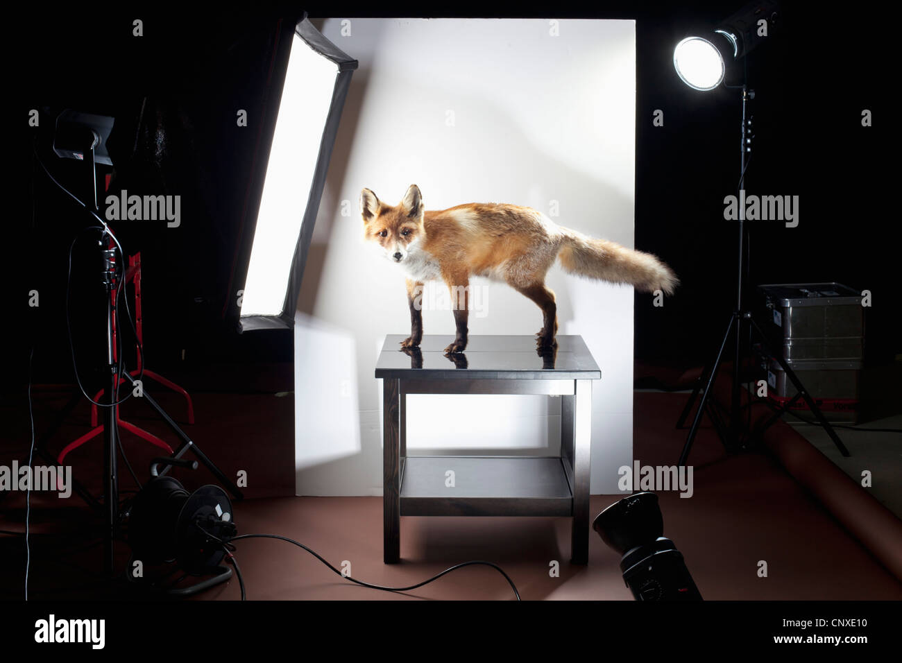 A behind the scenes look at a photo shoot of a stuffed fox - Stock Image