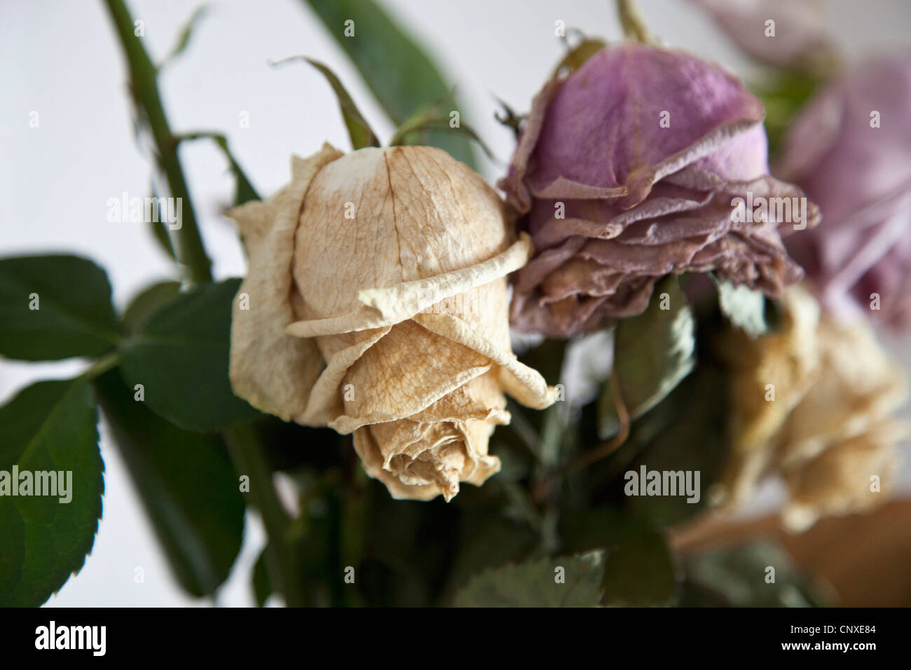 Dead roses, close-up Stock Photo