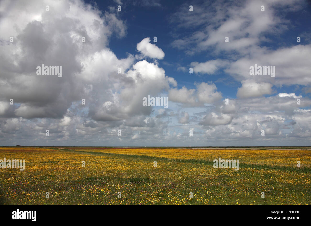 crowfoot (Ranunculus spec.), cumulus clouds over blooming crowfoot meadow, Netherlands, Workumer Waard, Frisia - Stock Image