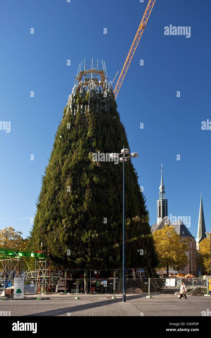 construction of teh christmas tree on hansa square, Hansaplatz of Dortmund, largest christmas tree of Germany, Germany, - Stock Image