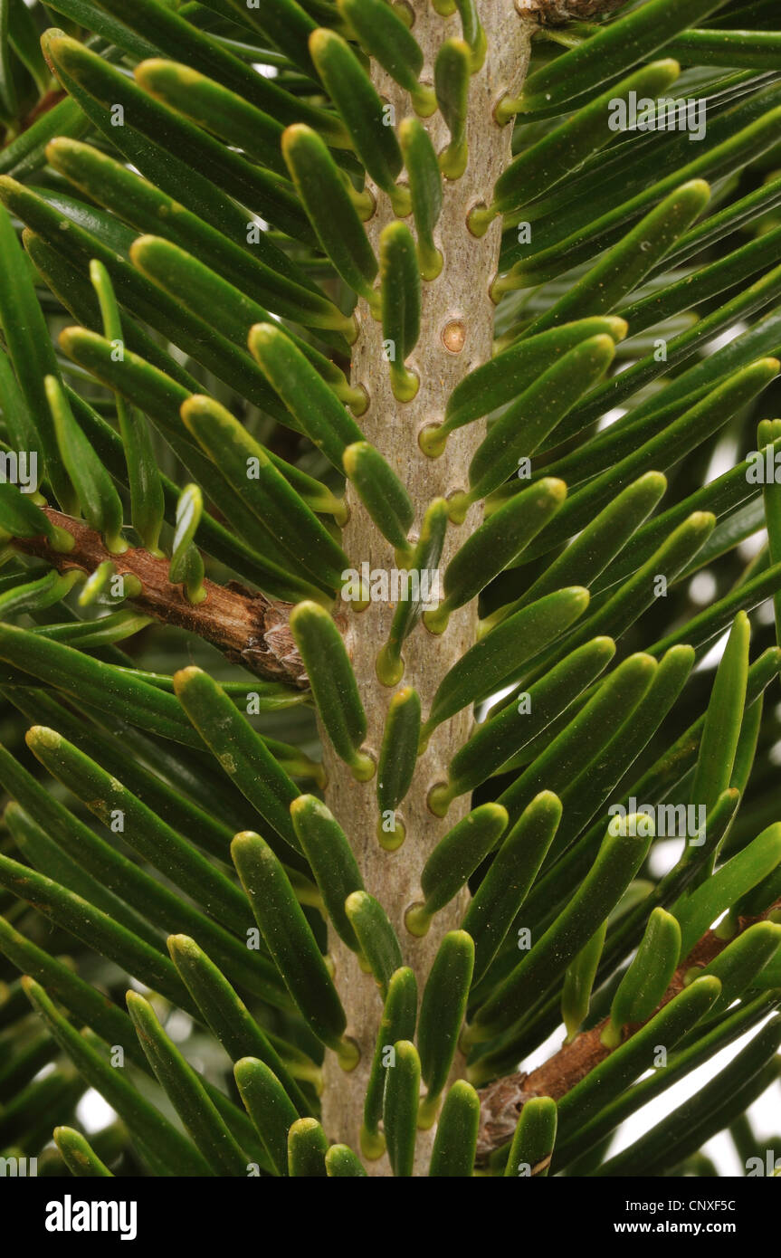Nordman fir (Abies nordmanniana), branch, upper side Stock Photo