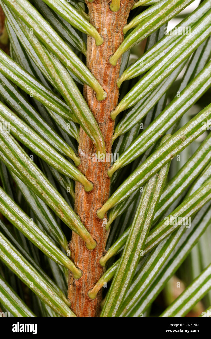 Nordman fir (Abies nordmanniana), branch, underside - Stock Image