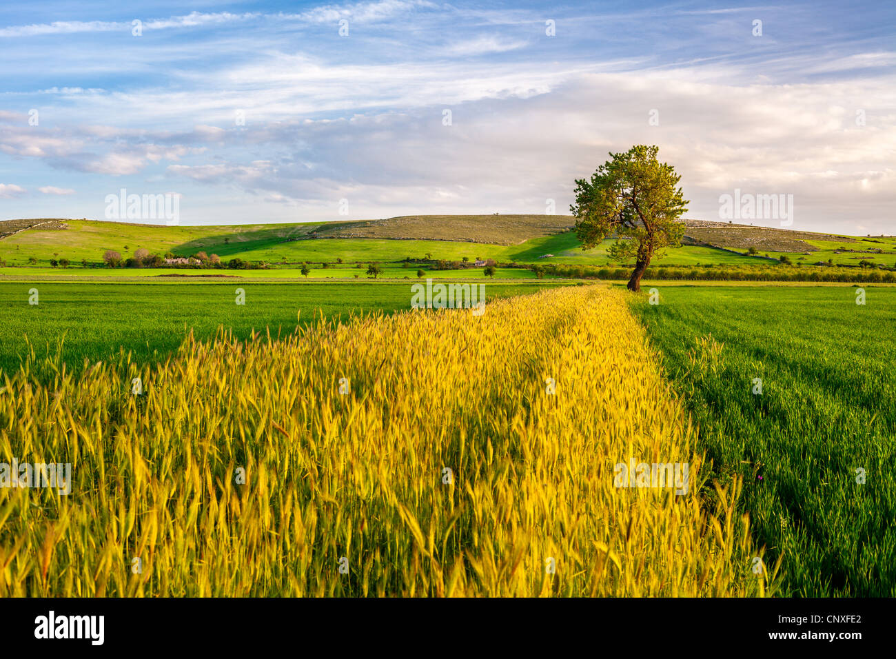 Wheat Field with a Tree on Sunset - Stock Image