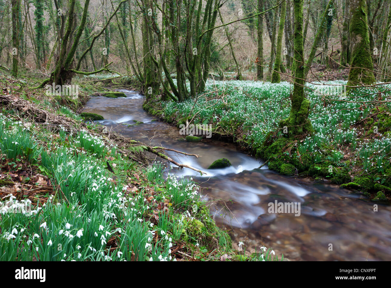 Snowdrops (Galanthus) flowering in North Hawkwell Wood, otherwise known as Snowdrop Valley, Exmoor - Stock Image