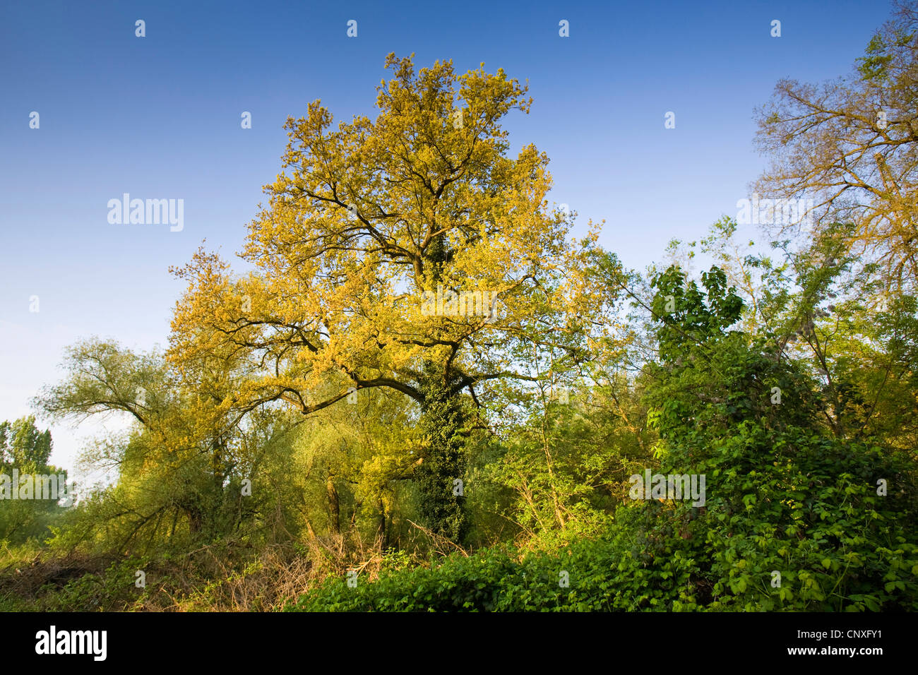 common oak, pedunculate oak, English oak (Quercus robur), oak in spring, Germany, Hesse, NSG Kuehkopf-Knoblochsaue Stock Photo