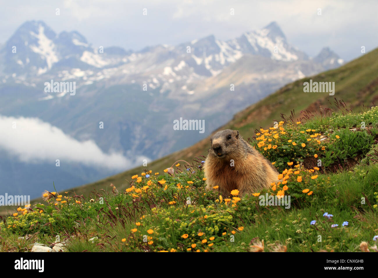 alpine marmot (Marmota marmota), in blooming mountain meadow, Switzerland, Engadine, Alp Languard Stock Photo