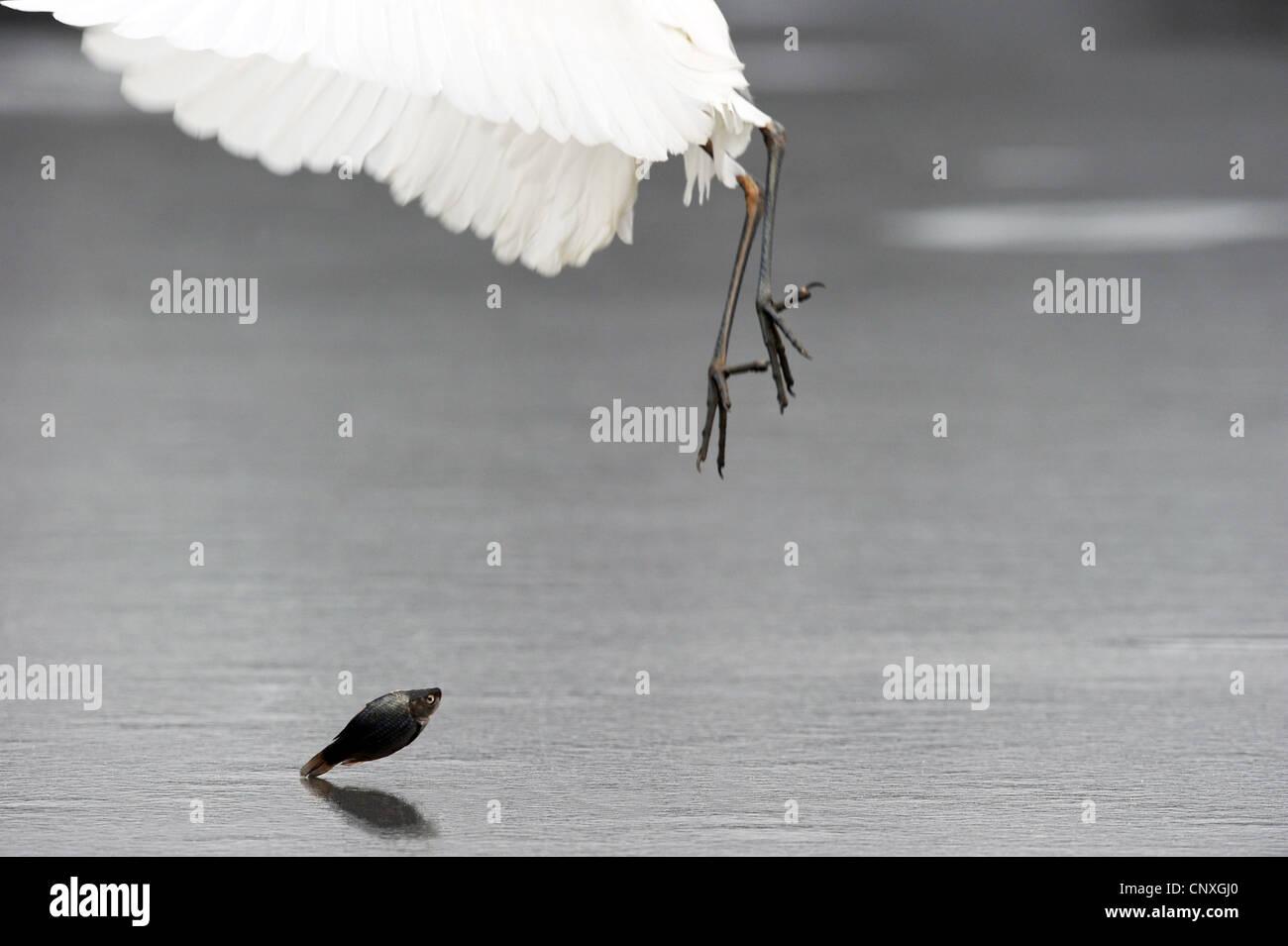 great egret, Great White Egret (Egretta alba, Casmerodius albus, Ardea alba), lets fall a caught fish on an ice - Stock Image