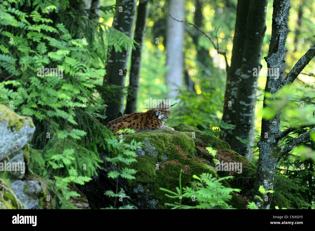 Eurasian lynx (Lynx lynx), sitting in a forest on mossy rock, Germany, Bavaria, Bavarian Forest National Park Stock Photo