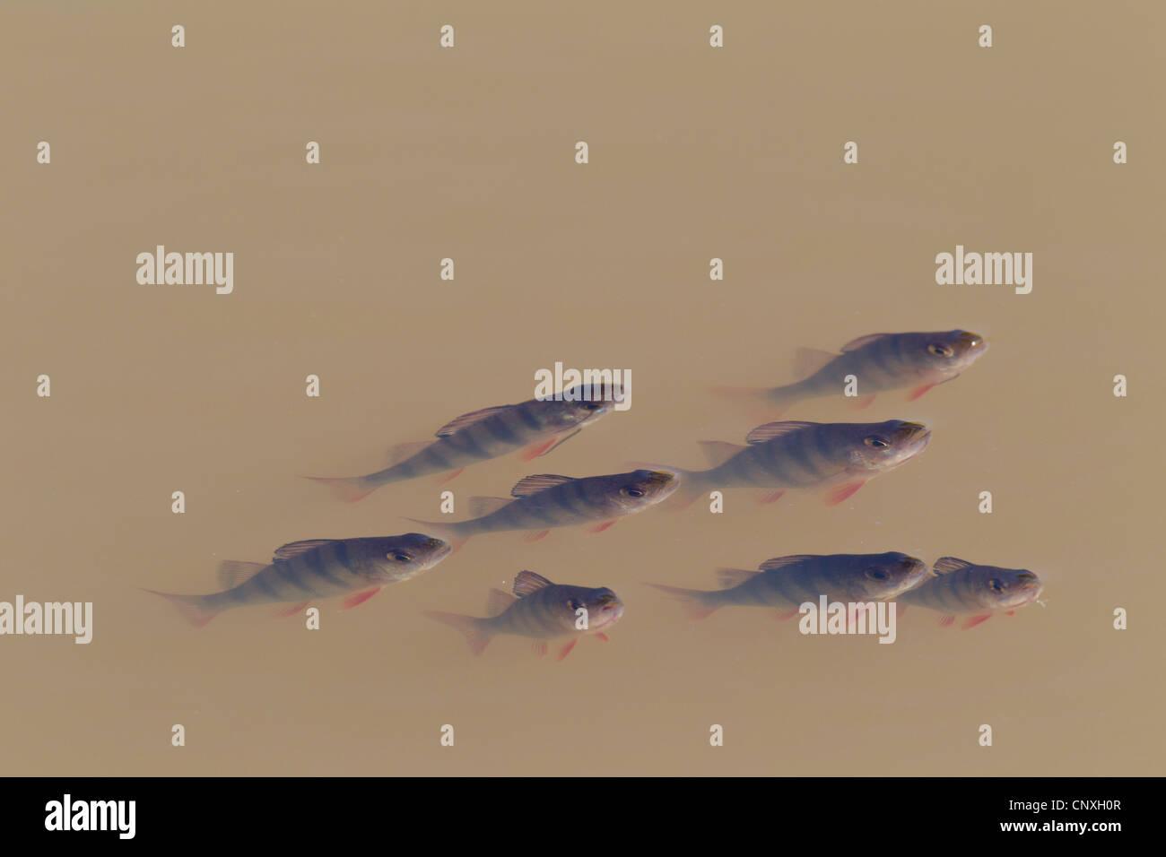 Perch, European perch, Redfin perch (Perca fluviatilis), juveniles, Germany, Saxony, Oberlausitz - Stock Image