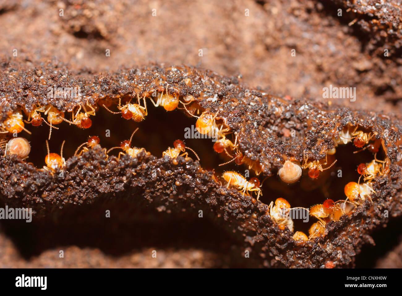termite isoptera building the nest cuba