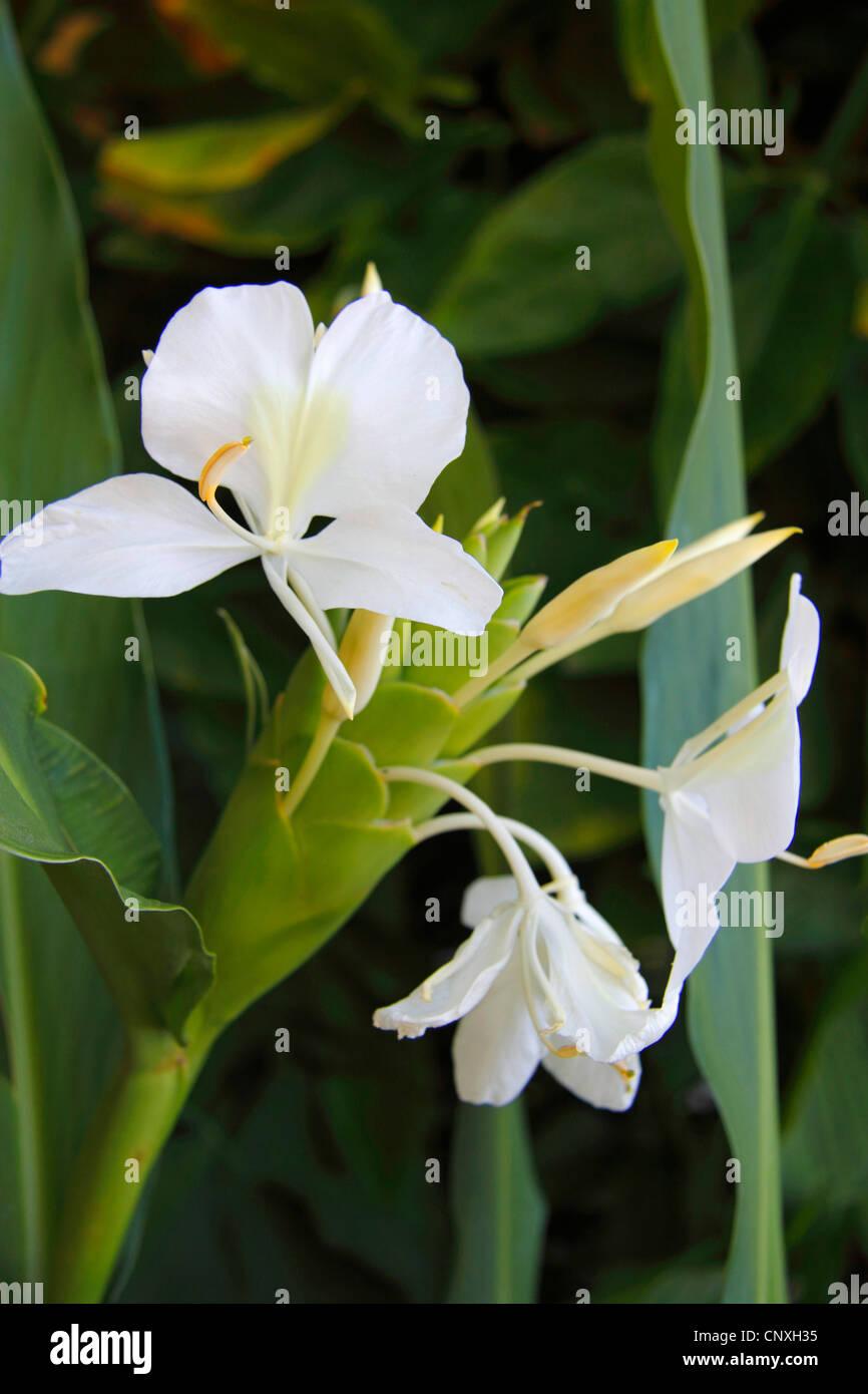 White Ginger Lily Hedychium Coronarium Blossom Stock Photo