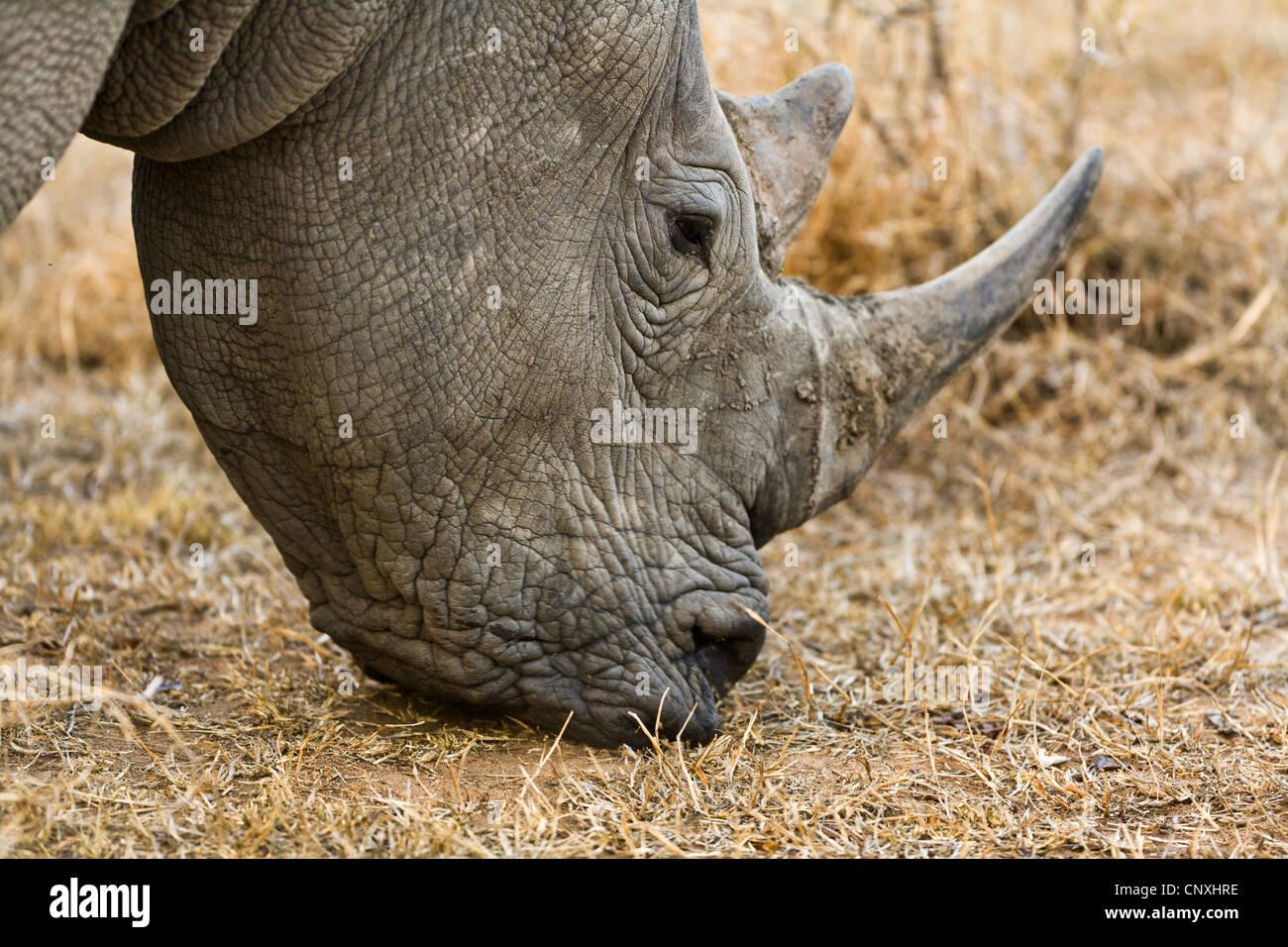 white rhinoceros, square-lipped rhinoceros, grass rhinoceros (Ceratotherium simum), grazing, South Africa, Krueger National Park Stock Photo