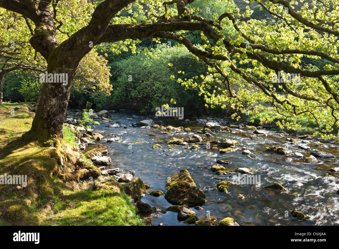 Spring foliage on the banks of Badgworthy Water in the Doone Valley, Exmoor, Somerset, England. Spring (May) 2011. - Stock Image