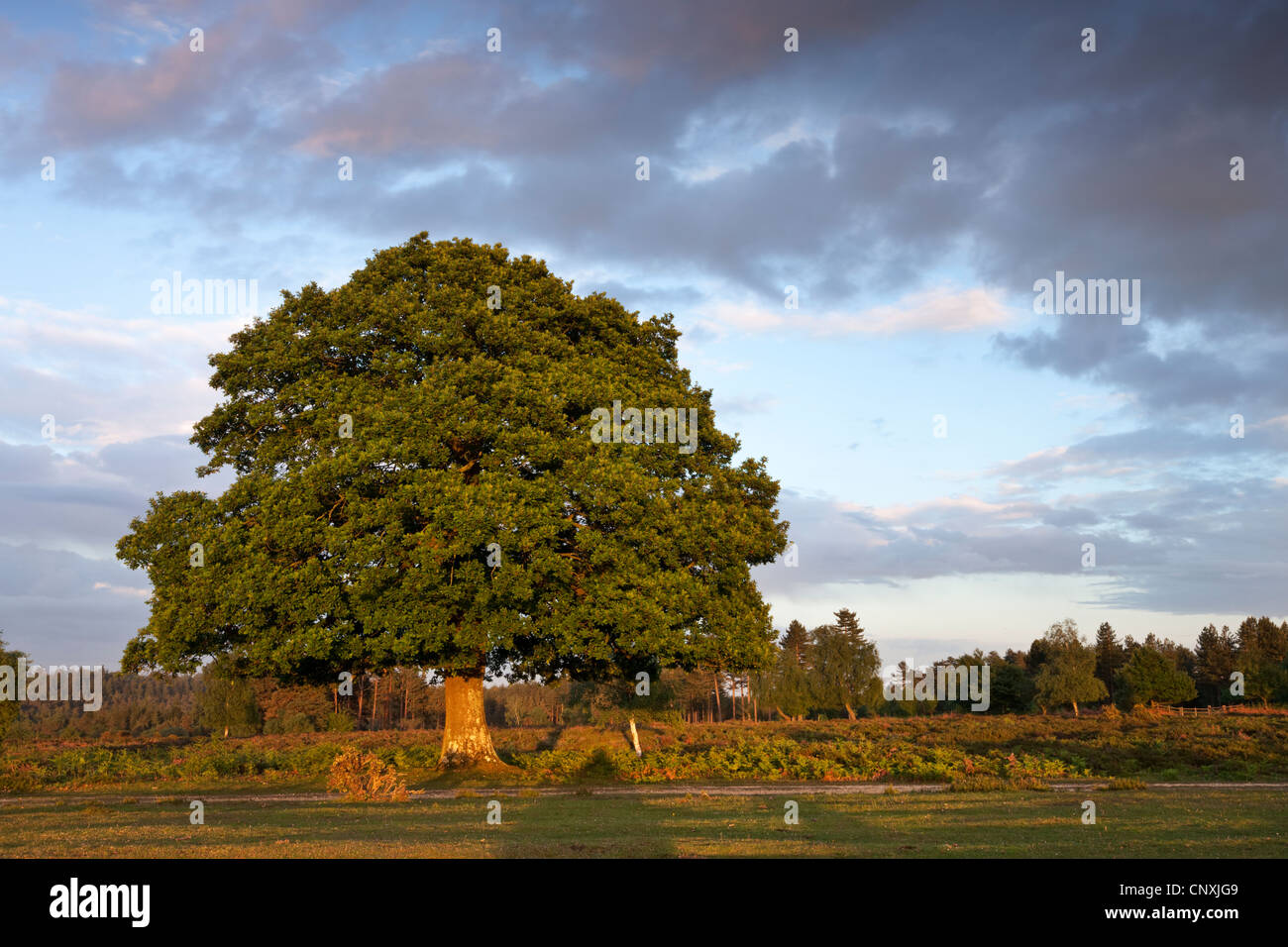 Mature Oak tree on the New Forest heathland, Hampshire, England. Spring (May) 2011. - Stock Image