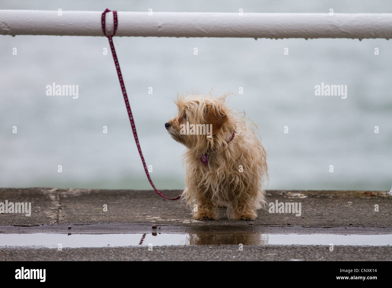 A small dog or puppy tied to a rail by the sea with a puddle. Looking rather downcast as though waiting for owner - Stock Image