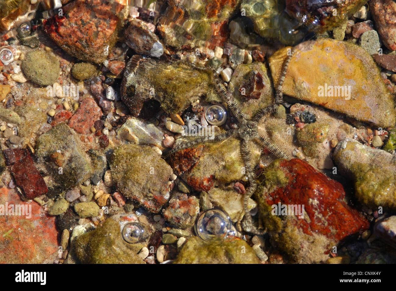 Starfish in the Red Sea on Nuweiba sea resort on Sinai Peninsula, Egypt. - Stock Image