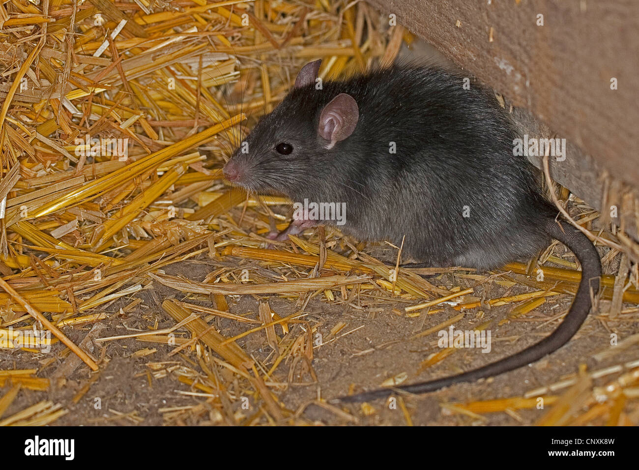 black rat, roof rat, house rat, ship rat (Rattus rattus), in a stable with straw, Germany - Stock Image