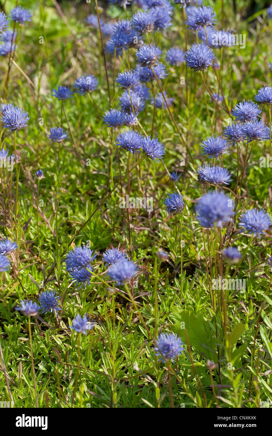 perennial sheep's-bit (Jasione laevis), blooming, Germany - Stock Image