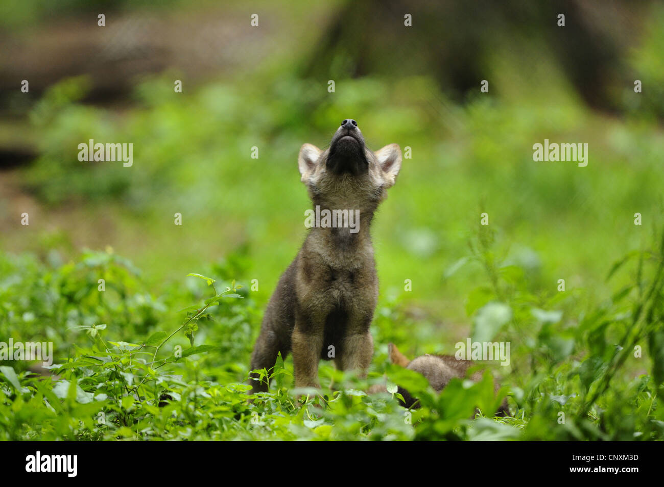European gray wolf (Canis lupus lupus), howling wolf cub standing in meadow, Germany, Bavaria, Bavarian Forest National - Stock Image