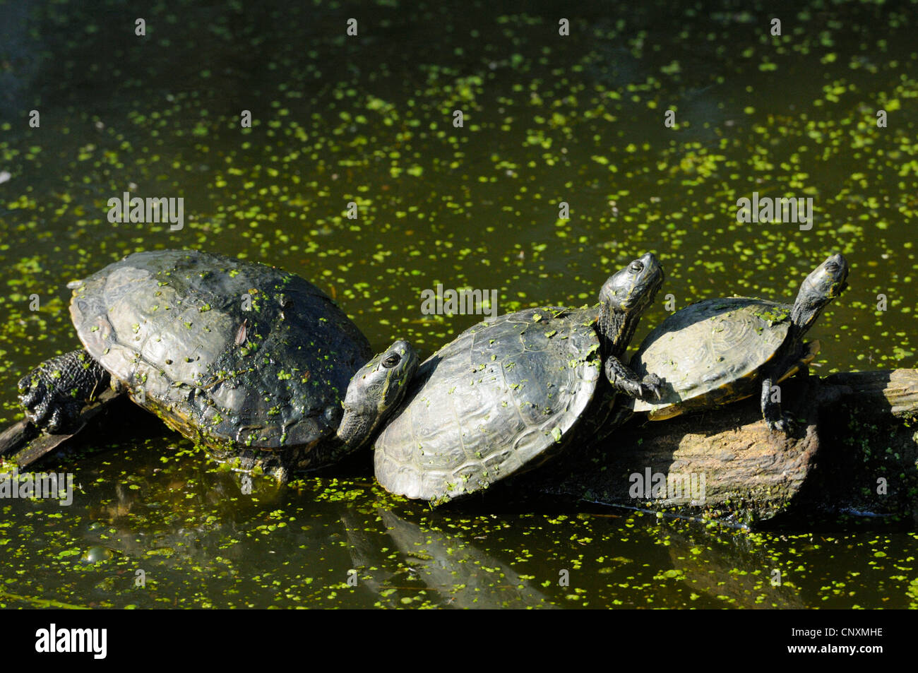 Three red-eared sliders (trachemys scripta elegans) from Florida taking sun on rock, Rhodes animal's park, Moselle,France - Stock Image