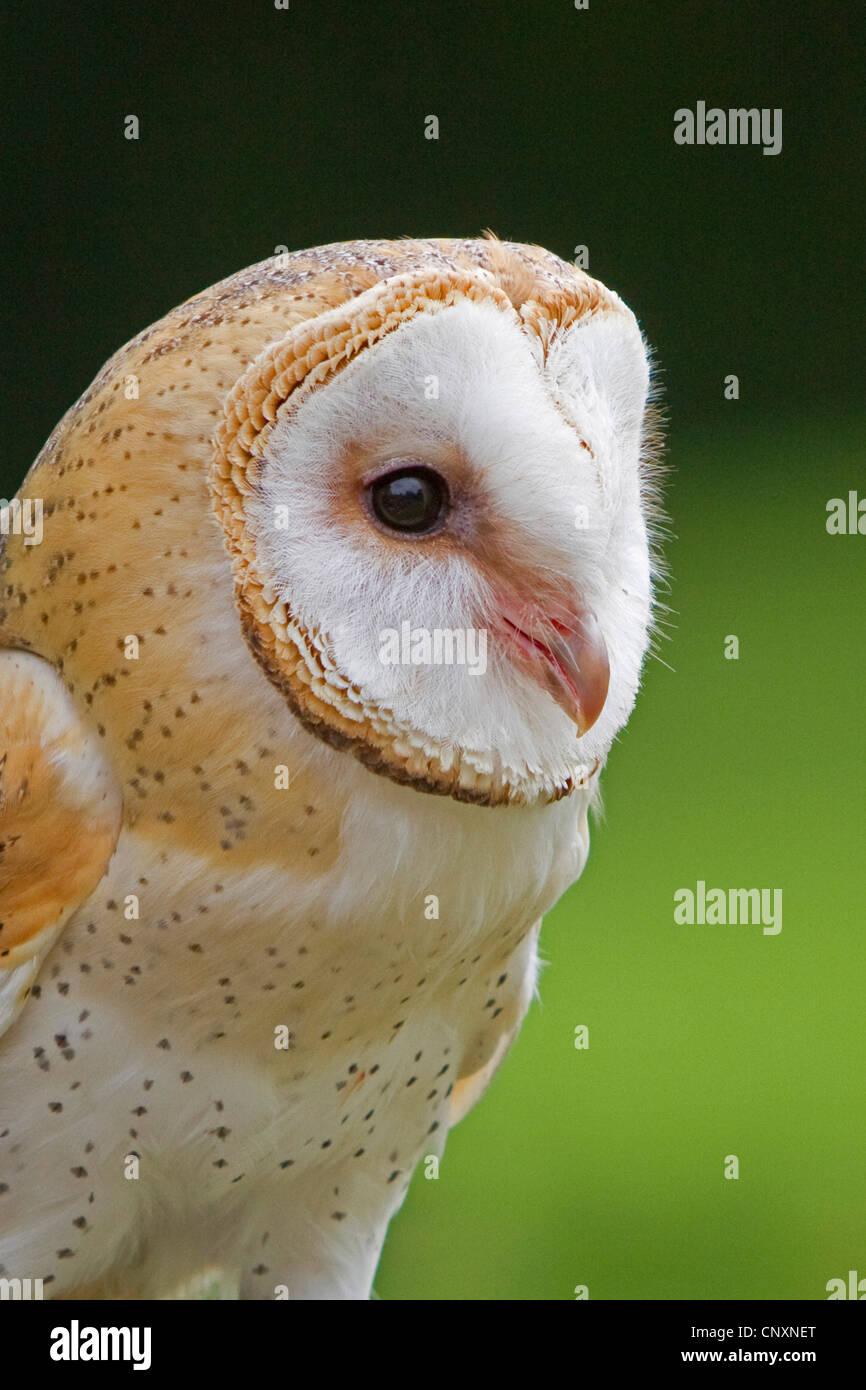 barn owl (Tyto alba), portrait, Germany, Bavaria - Stock Image