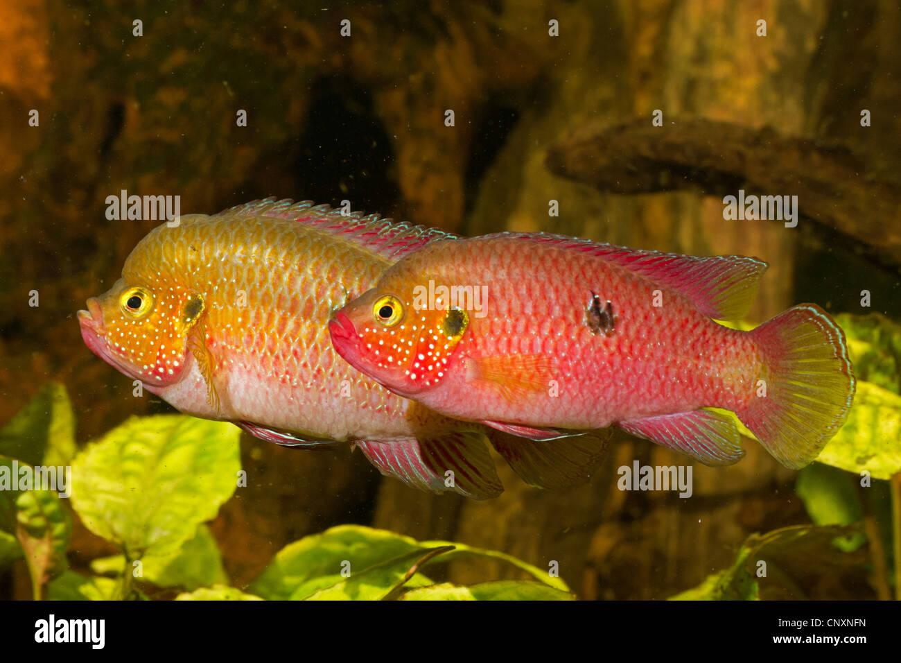 jewel fish, jewelfish, red jewel fish, red cichlid (Hemichromis bimaculatus, Hemichromis guttatus), male with female - Stock Image