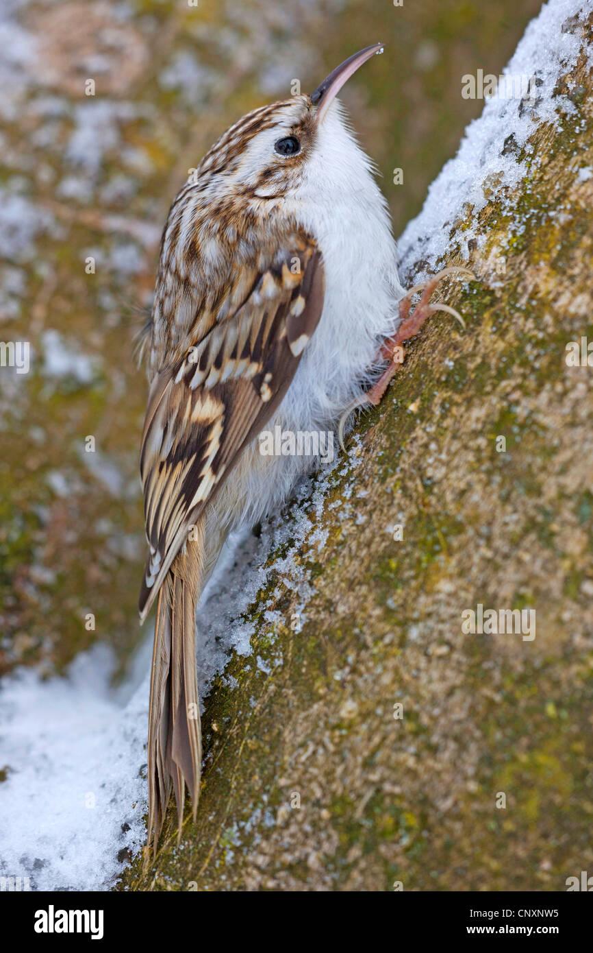 short-toed treecreeper (Certhia brachydactyla), in Winter, Germany, Bavaria - Stock Image