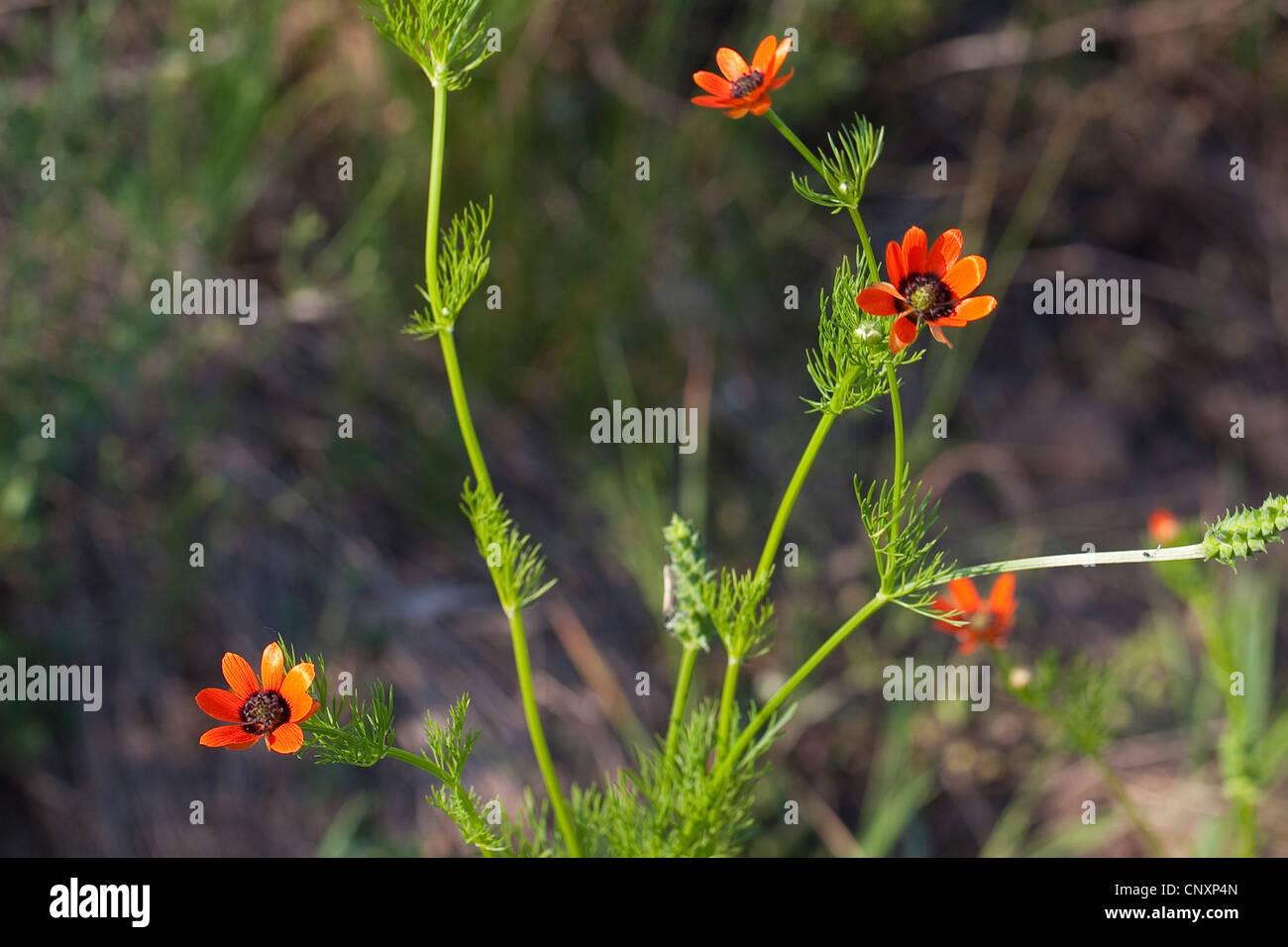 summer pheasant's-eye (Adonis aestivalis), blooming, Germany Stock Photo