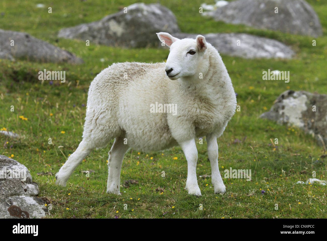 domestic sheep (Ovis ammon f. aries), lamb on a pasture, United Kingdom, Scotland - Stock Image