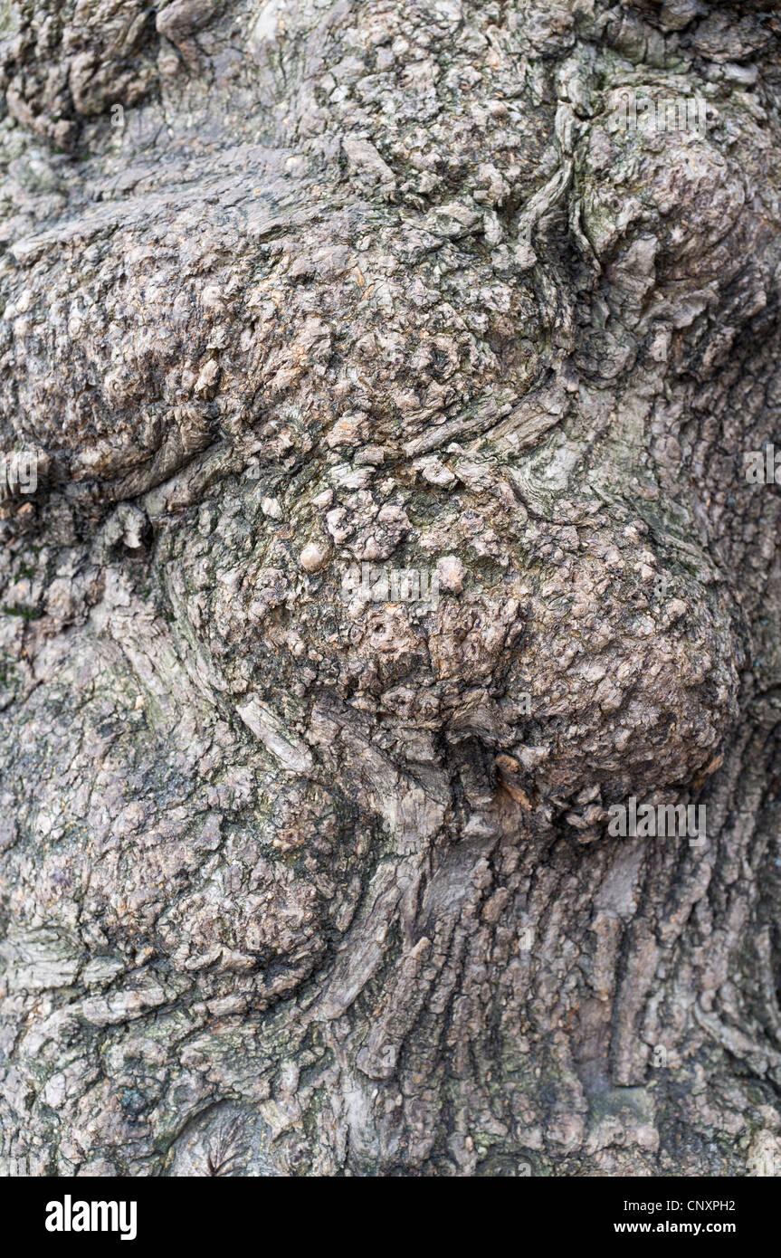 Abnormal tree trunk - Stock Image