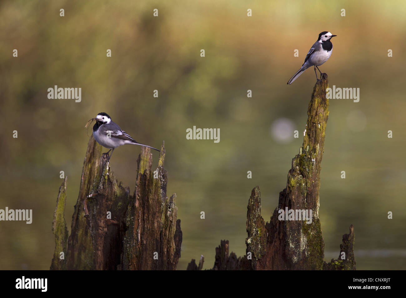 pied wagtail (Motacilla alba), two wagtails sitting on a tree snag, one with nesting material in its beak, Germany, - Stock Image
