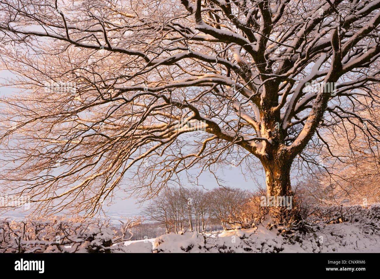 Snow covered tree on Exmoor, Somerset, England. Winter (January) 2012. - Stock Image