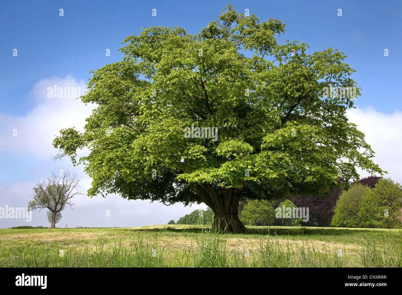 Solitary European hornbeam (Carpinus betulus) tree in meadow in spring, Belgium - Stock Image