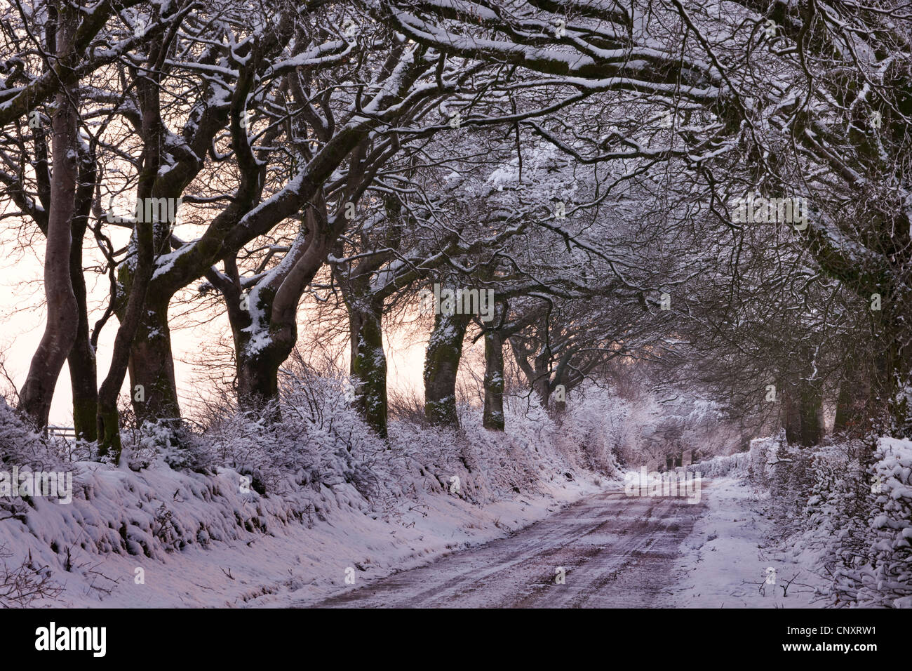 Snow covered country lane through trees, Exmoor, Somerset, England. Winter (January) 2012. - Stock Image
