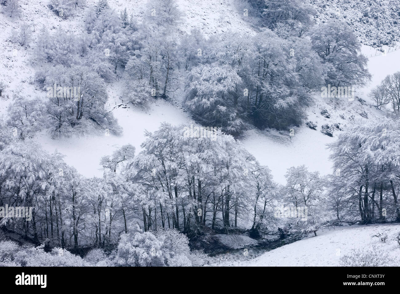 Snow covered trees in The Punchbowl, Exmoor, Somerset, England. Winter (January) 2012. - Stock Image
