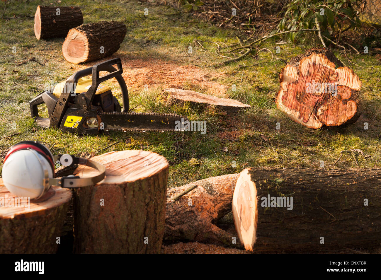 ear defenders and chainsaw and sawn tree trunk - Stock Image