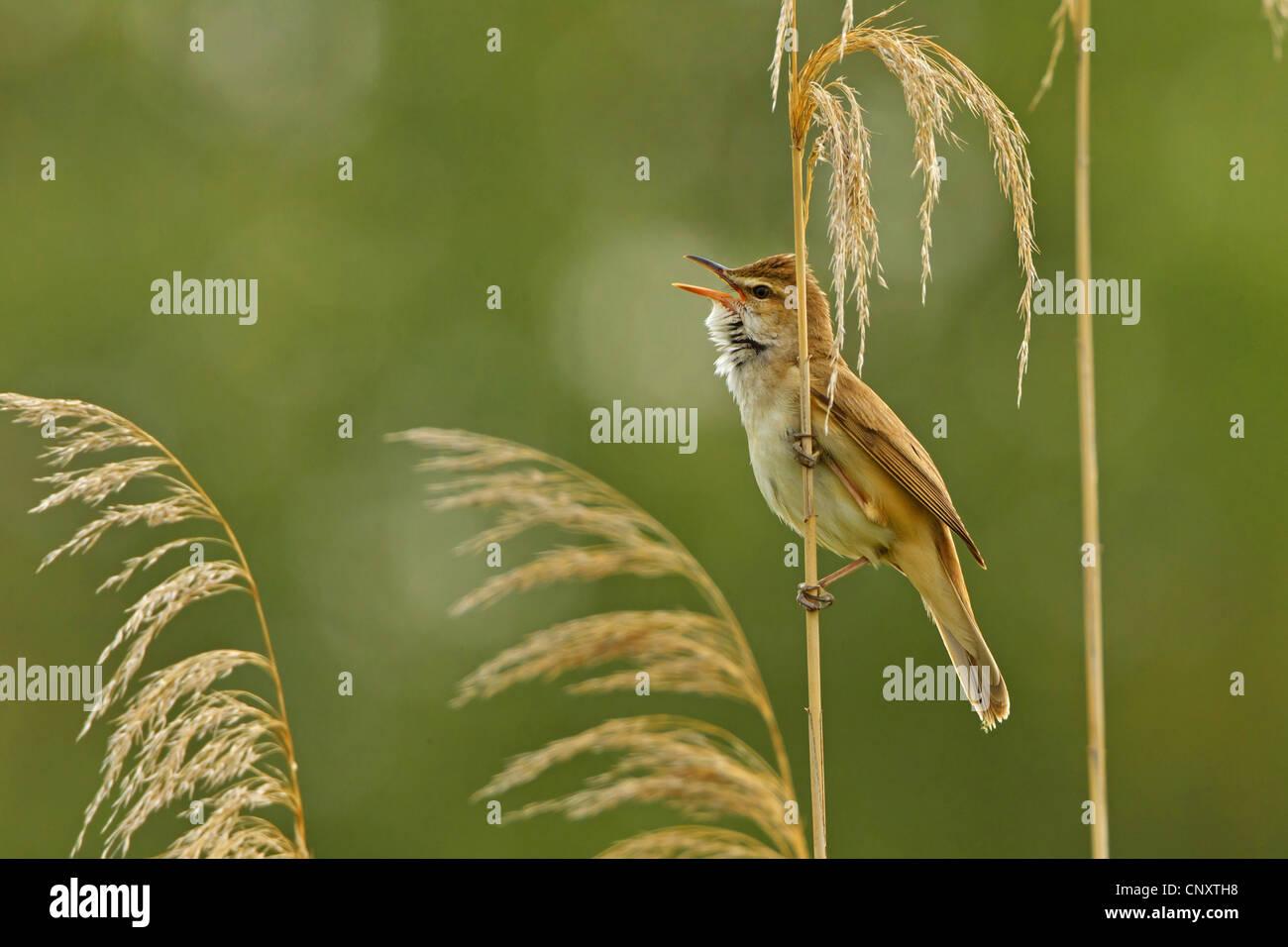 great reed warbler (Acrocephalus arundinaceus), sitting at reed singing, Turkey, Sanliurfa, Birecik Gravel Pits, Stock Photo