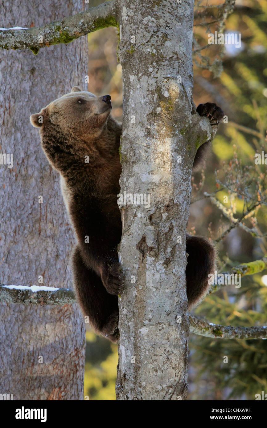 European brown bear (Ursus arctos arctos), sit on tree, Germany - Stock Image