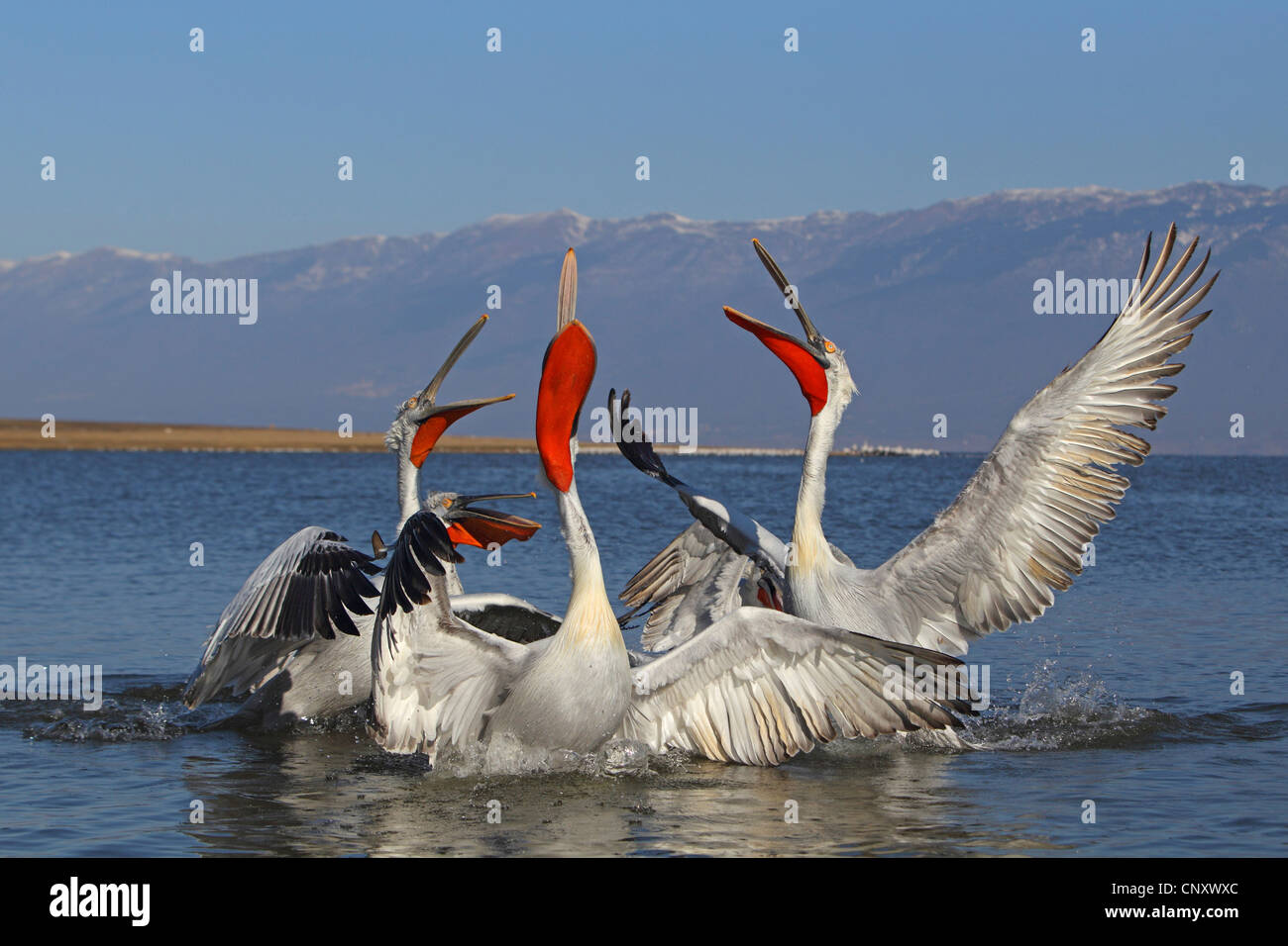 Dalmatian pelican (Pelecanus crispus), some birds fighting for food - Stock Image