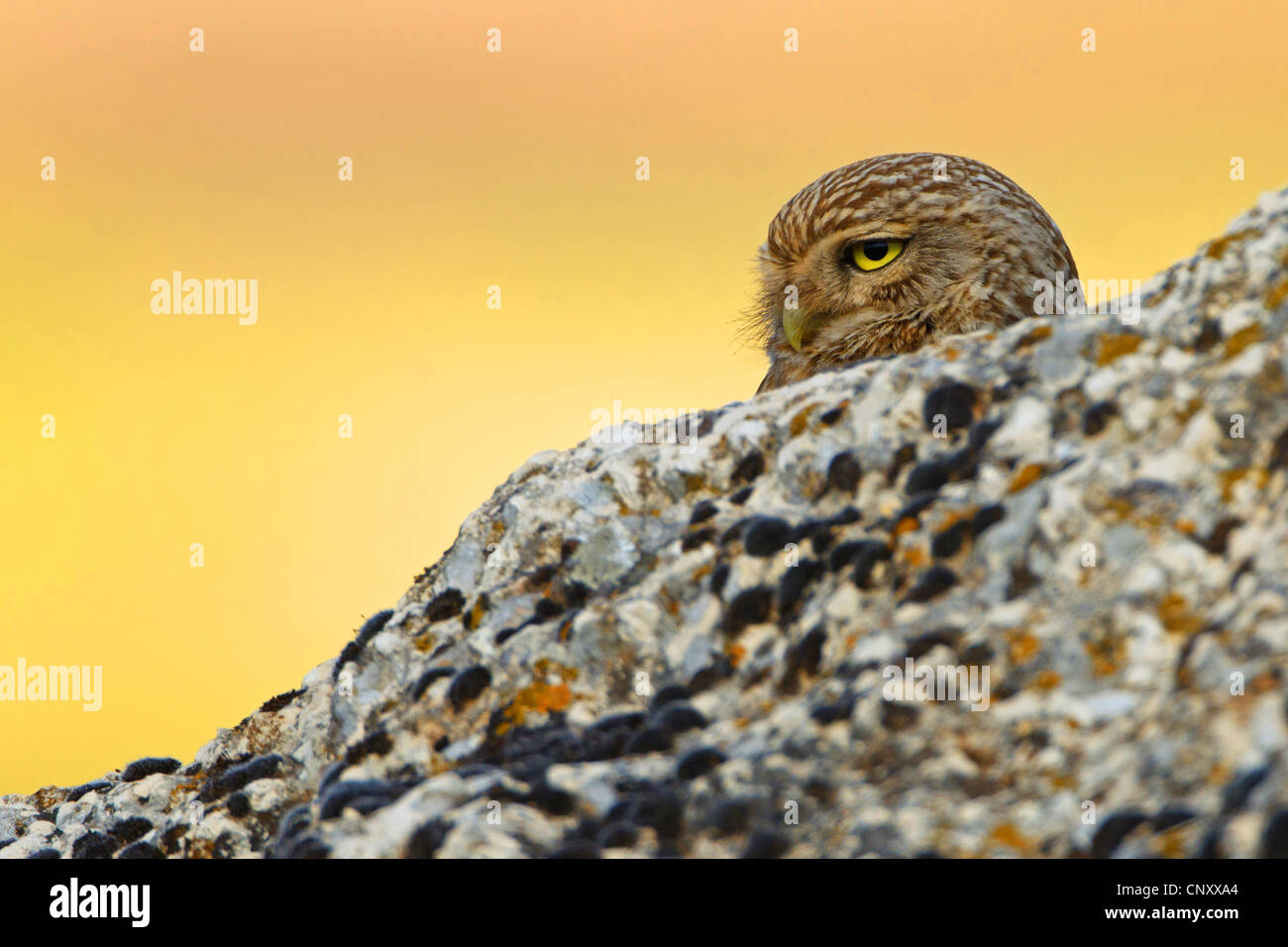 little owl (Athene noctua), peering from behind a rock, Turkey, Sanliurfa - Stock Image