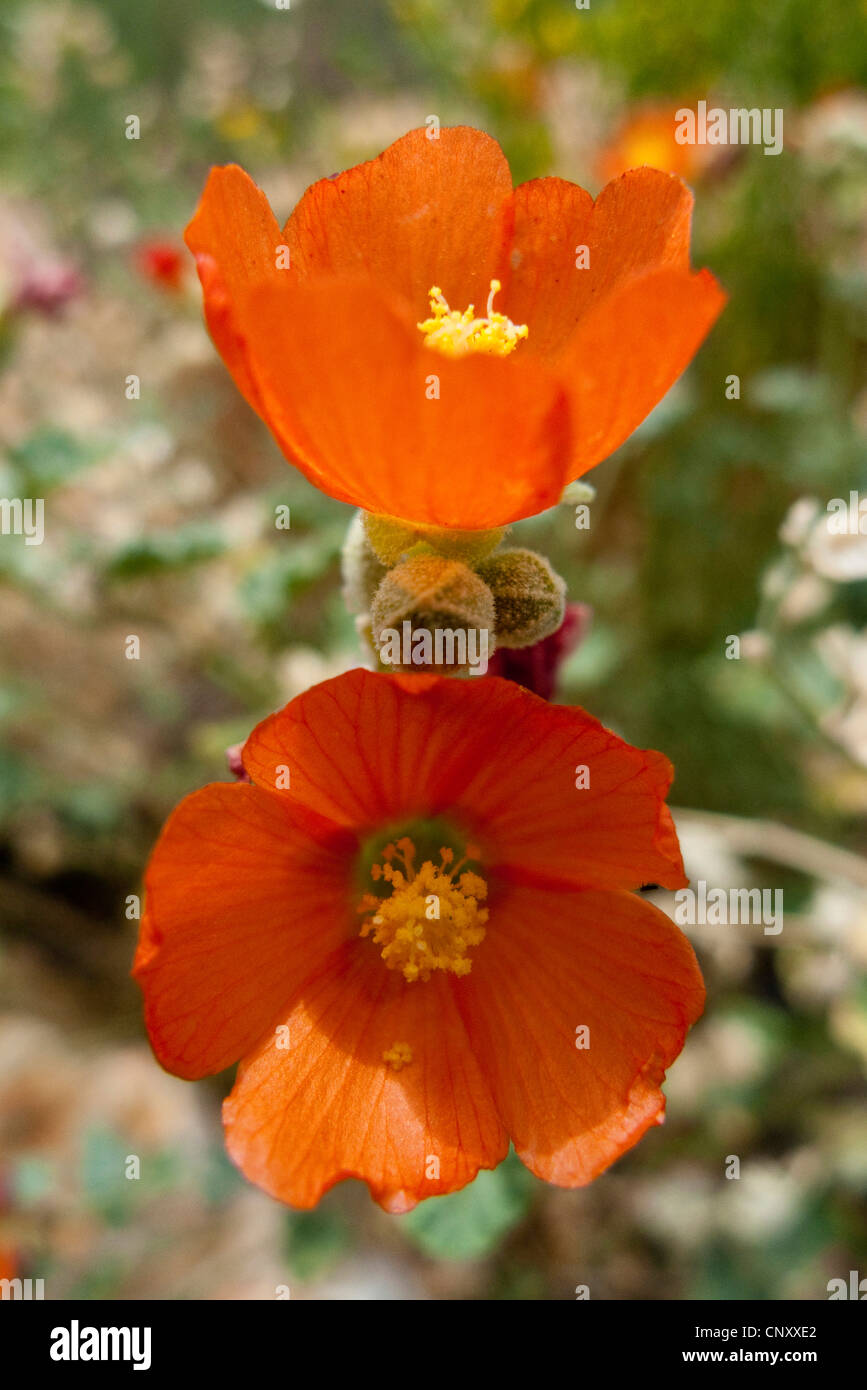 Globe mallow (Sphaeralcea spec.), flowers, USA, Arizona, Grand Canyon National Park - Stock Image
