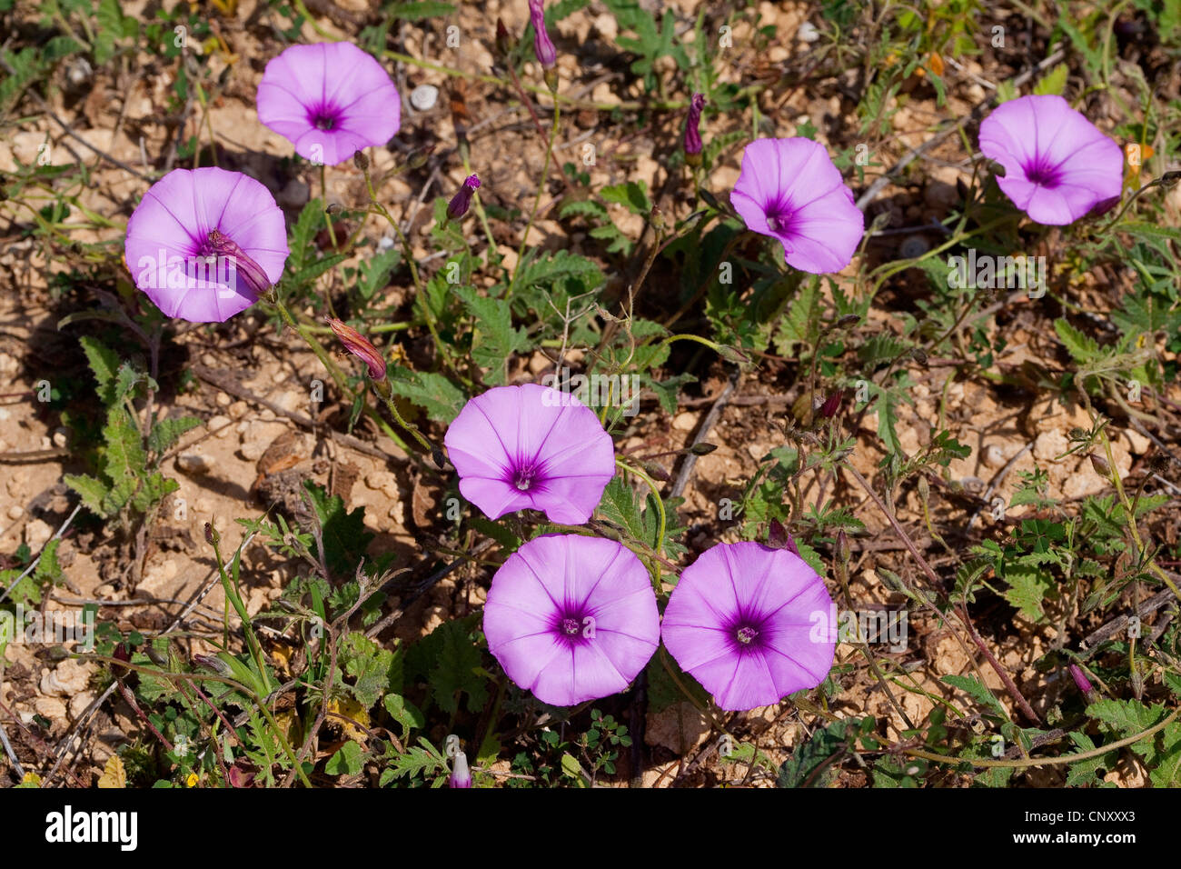 Mallow leaved bindweed, Mallow-leaved bindweed (Convolvulus althaeoides), blooming - Stock Image