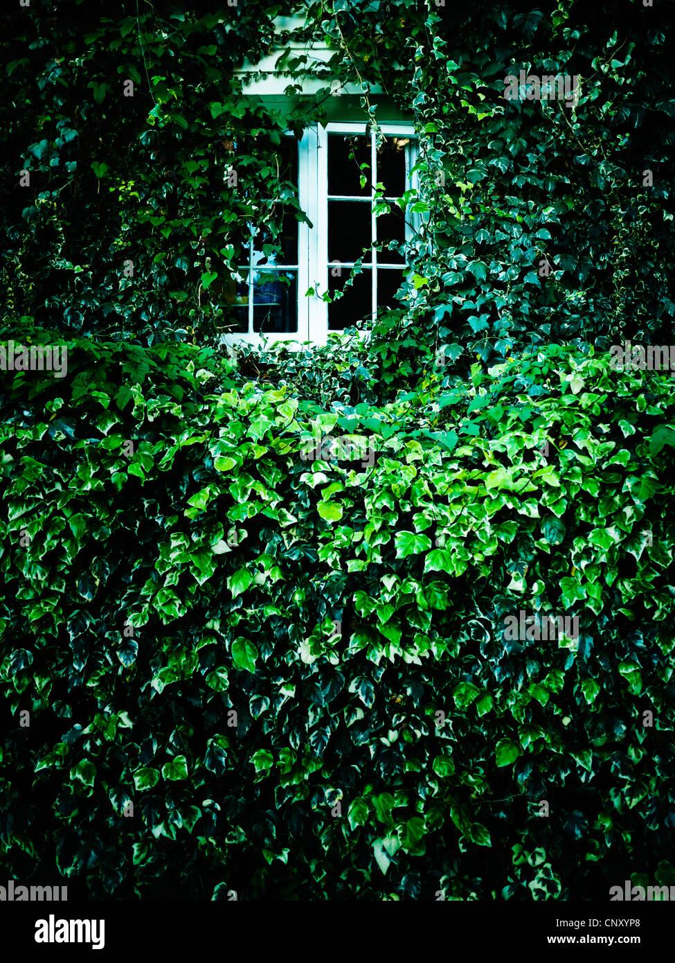Window overgrown ivy - Stock Image