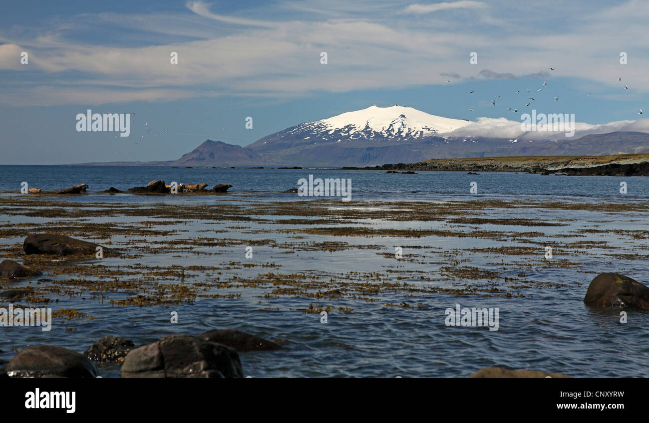 Ytri-Tunga, resting place for gray seals, Iceland, Snaefellsnes - Stock Image
