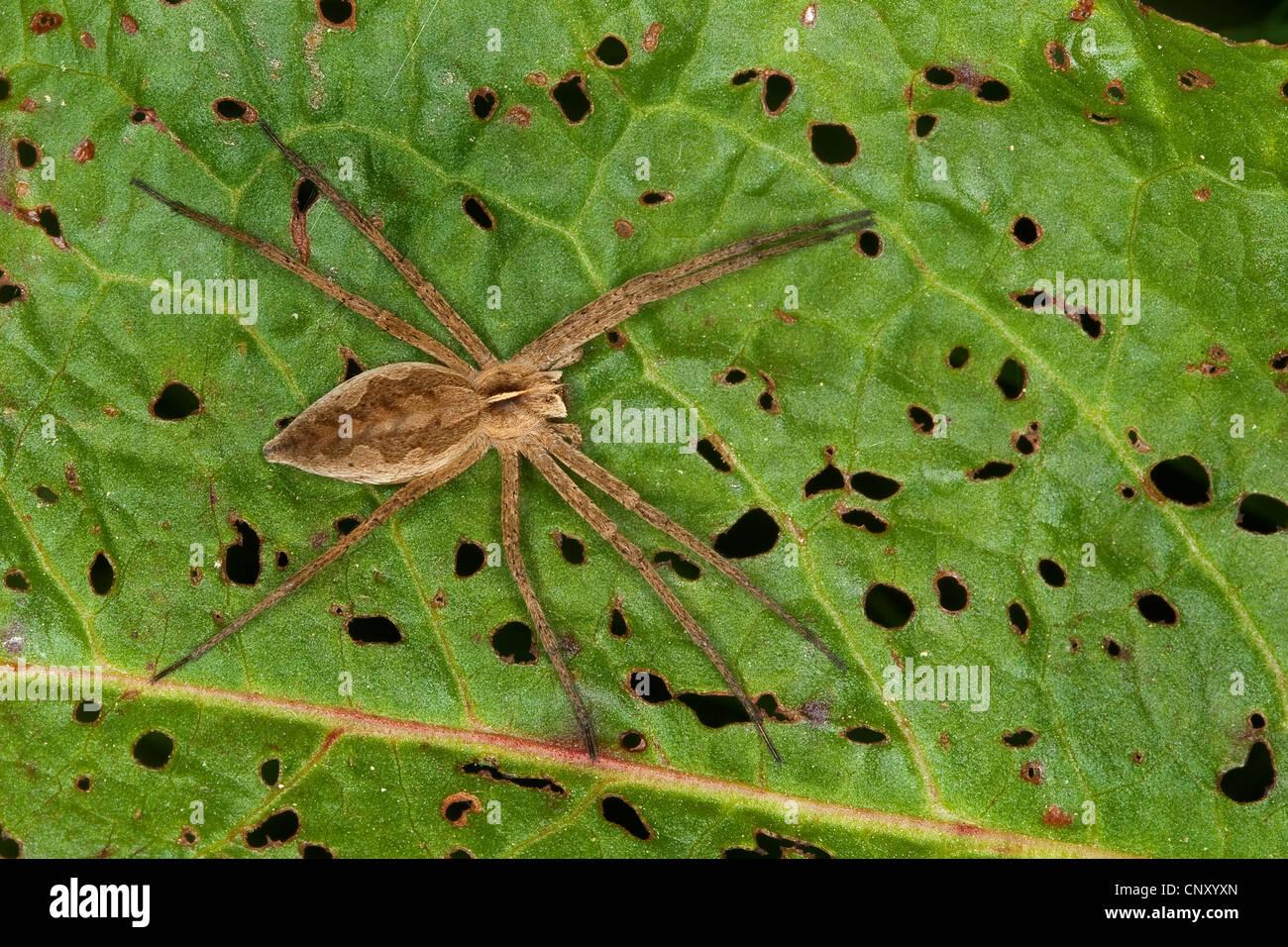 nursery web spider, fantastic fishing spider (Pisaura mirabilis), sitting on a leaf, Germany - Stock Image
