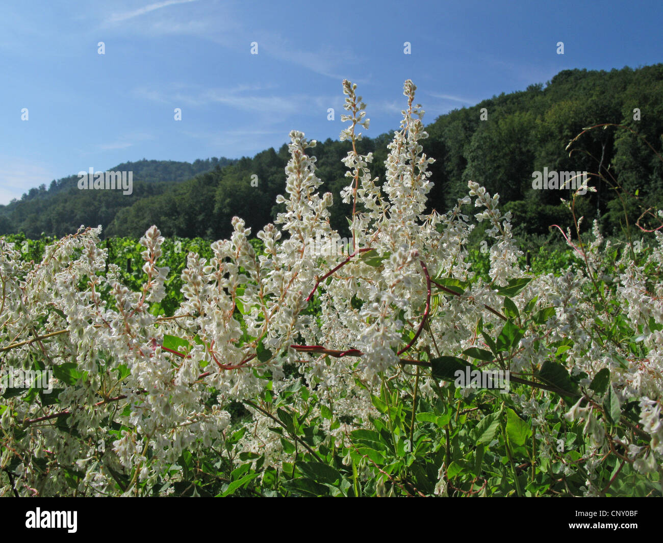 Russian vine, Bukhara fleeceflower, Chinese fleecevine, Mile-a-minute, Silver lace vine (Fallopia baldschuanica, Stock Photo