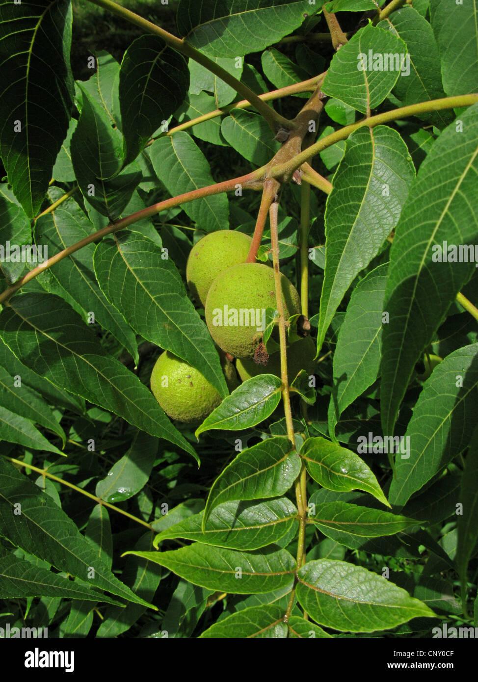 fruits a jagel stock photos fruits a jagel stock images alamy. Black Bedroom Furniture Sets. Home Design Ideas